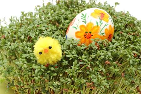 Closeup of funny Easter chicken and colorful painted Easter egg lying on fresh green cuckoo-flower, fresh watercress, Easter decoration  Isolated on white background photo