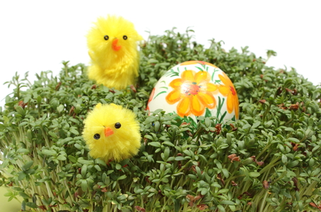 Closeup of funny Easter chickens and colorful painted Easter egg lying on fresh green cress, fresh watercress, Easter decoration  Isolated on white background photo