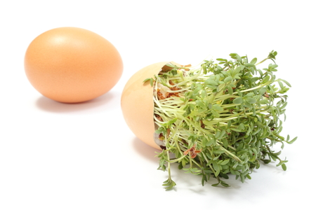 overturned: Closeup of fresh green cress in overturned eggshell and fresh egg in background, watercress, Easter decoration  Isolated on white background