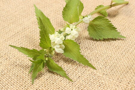 Fresh stinging nettles with white flowers lying on jute canvas photo