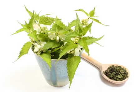 Fresh stinging nettles with white flowers in blue cup and heap of dried nettle on wooden spoon  Isolated on white background photo