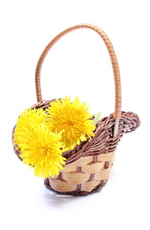 Yellow fresh flowers of dandelion in wicker basket  Isolated on white background photo