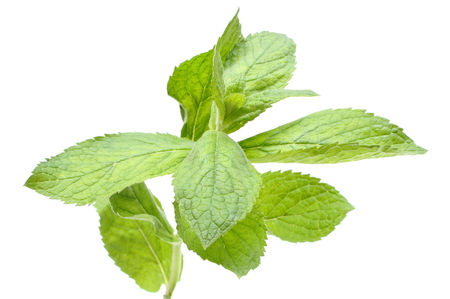 herbalism: Closeup of branch of fresh natural green mint, concept for healthy nutrition