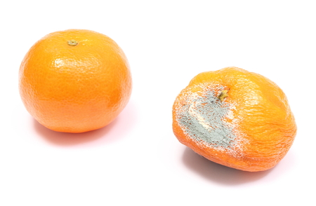 decompose: Two mandarins - fresh and moldy isolated on white  Stock Photo