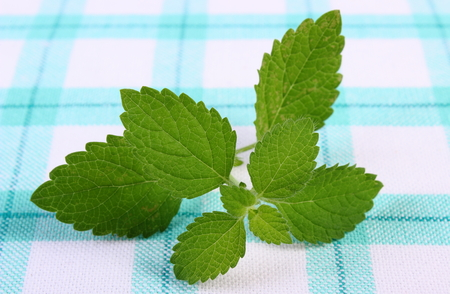 sedative: Fresh green lemon balm on checkered tablecloth, sedative herbs, concept for healthy nutrition and herbalism