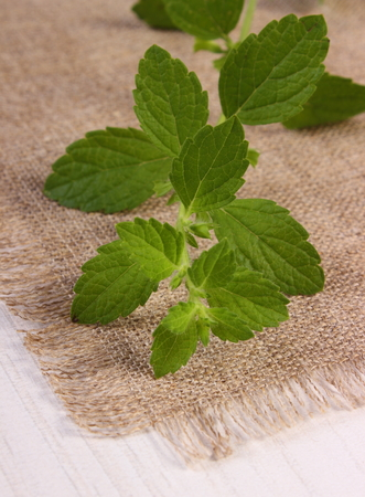 sedative: Fresh green lemon balm on white wooden table, sedative herbs, concept for healthy nutrition and herbalism