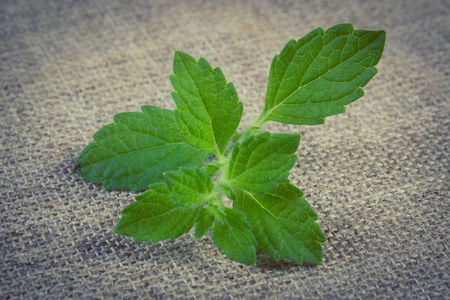 sedative: Vintage photo, Fresh green lemon balm on jute canvas, sedative herbs, concept for healthy nutrition and herbalism Stock Photo