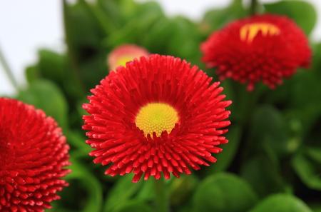 marguerite: Composition de marguerites rouges sur fond de feuilles vertes