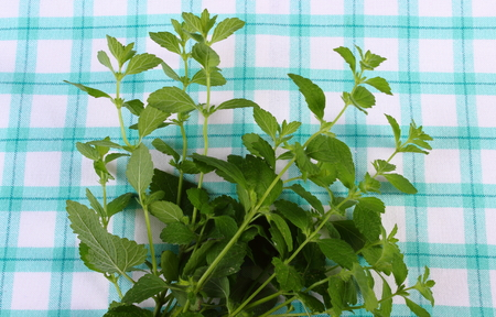herbalism: Fresh green lemon balm on checkered tablecloth, sedative herbs, concept for healthy nutrition and herbalism