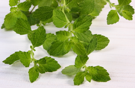herbalism: Fresh green lemon balm on white wooden table, sedative herbs, concept for healthy nutrition and herbalism