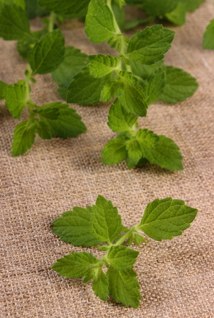 sedative: Fresh green lemon balm on jute canvas, sedative herbs, concept for healthy nutrition and herbalism Stock Photo