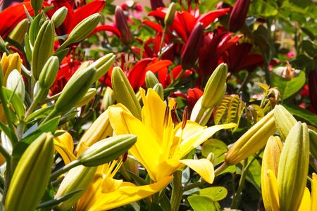 sinlight: Fresh blooming flowers of lily with green leaves in garden on sunny day