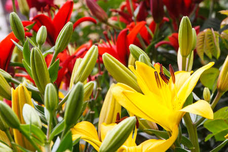 Fresh blooming flowers of lily with green leaves in garden on sunny day