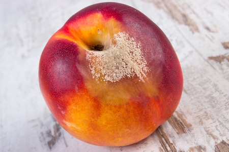 Spoiled and moldy peach on old wooden white table, unhealthy eating