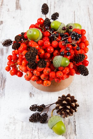 Autumn fruits of forest on old rustic wooden background, bunch of red rowan, alder cone, green acorns, brown pine cones, elderberry Stock Photo