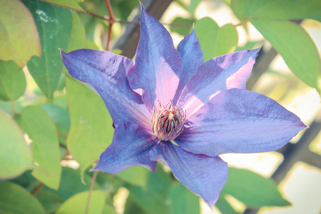 Blooming clematis with green leaves in sunny garden, seasonal flowers concept Banque d'images - 103908949