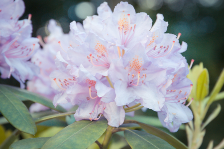 Vintag photo, Blooming pink rhododendron with green leaves in park, concept of seasonal flowers Banque d'images - 103908896
