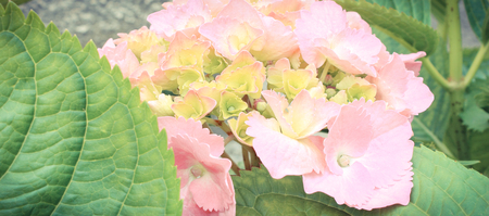 Blooming hydrangea with green leaves in sunny garden, seasonal flowers concept Banque d'images - 105129875