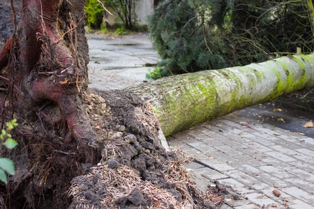 Uprooted tree after storm, fallen tree damaged by wind, dangerous weather concept