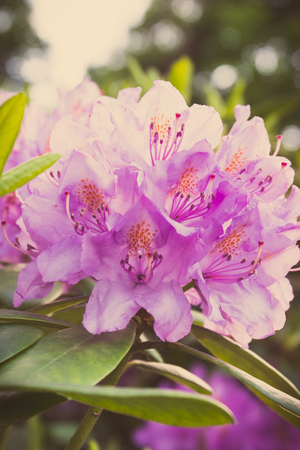 Vintage photo, Blooming pink rhododendron with green leaves in park, seasonal flowers Banque d'images - 106690810