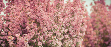 Blooming heathers in park or garden, concept of seasonal flowers Banque d'images - 108203417