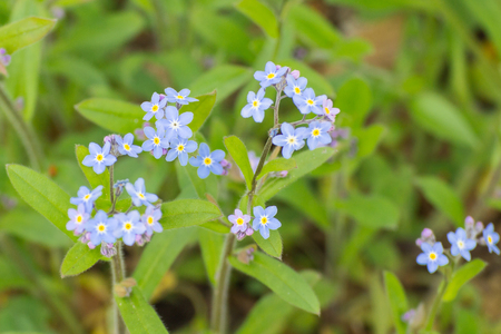 Blooming forget me not flowers in sunny garden or park, springtime, seasonal flowers