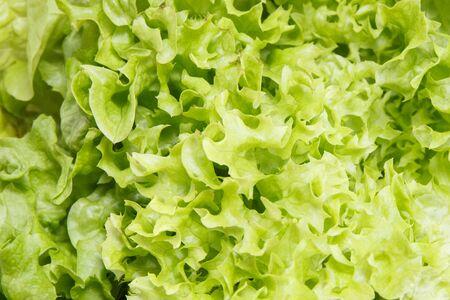 Fresh ripe natural green lettuce as source vitamins and minerals 版權商用圖片