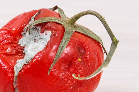 Old wrinkled moldy and disgust tomato, concept of unhealthy vegetable
