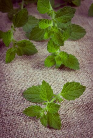 Vintage photo, Fresh green lemon balm on jute canvas, sedative herbs, concept of healthy nutrition and herbalism Фото со стока