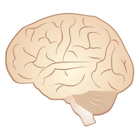 의식: Drawing of a human brain