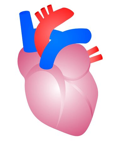 circulation: Drawing of a human heart  Illustration