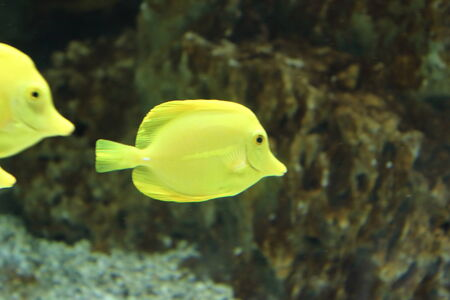 lake dweller: Yellow fish aquarium