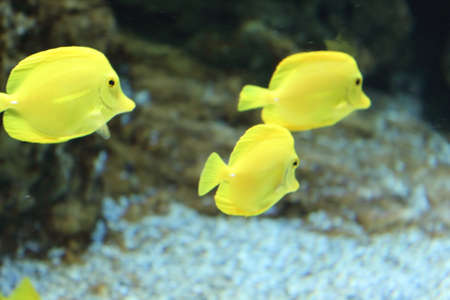 lake dweller: Yellow fish Stock Photo