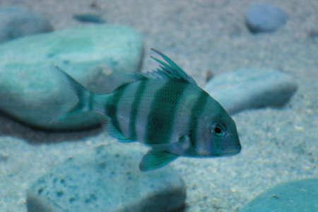 blotched: Fish of aquarium