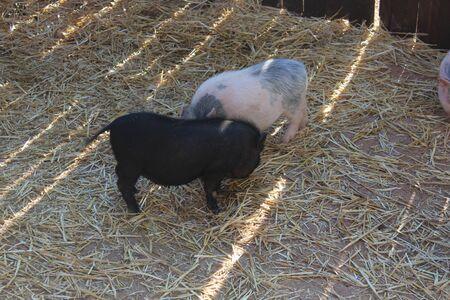 mini farm: two small pigs