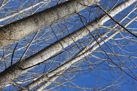 tall: tall trees