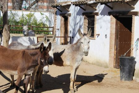 mule: two donkeys