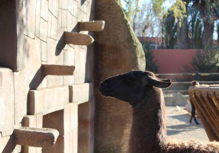llama: llama in zoo