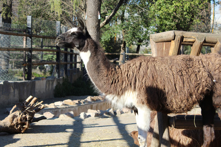 endangered: yama in zoo