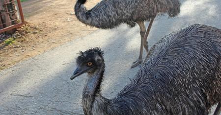 ostrich: avestruz caminar