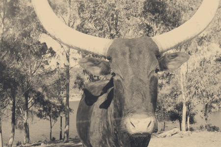 longhorn cattle: Texas bull