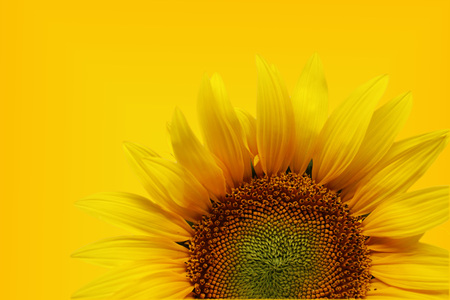 Photo detail of nice sunflower Stock Photo