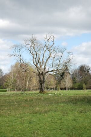old tree without leaves in killarney national park photo