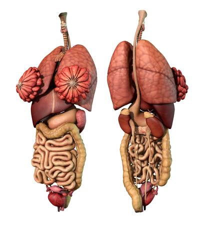 Abdominale en thoracale vrouwelijke orgelset, realistisch hart, longen, maag, lever, nieren, milt, grote en dunne darm, 3d render