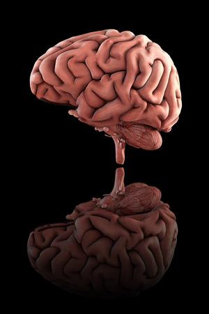 Medizinisch genaue 3D-Darstellung des männlichen menschlichen Gehirns mit Bodenreflexion Standard-Bild