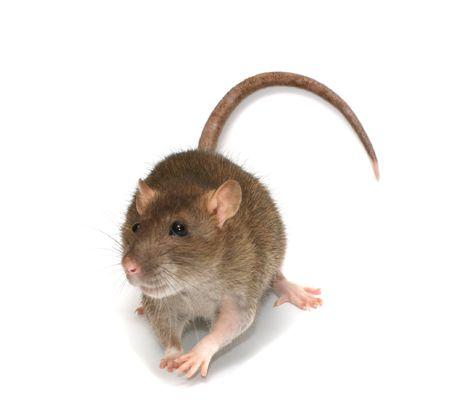 plaga: Rata gris