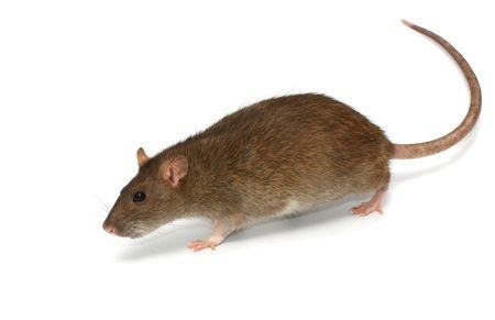 rats: Grigio topo