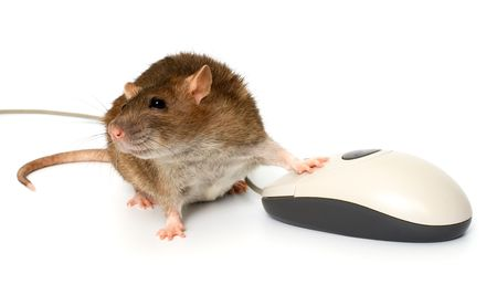 Rat and the computer mouse  photo