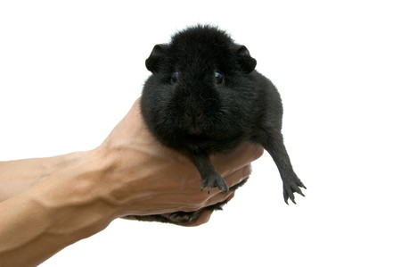 guinea pig in hands on a white background photo