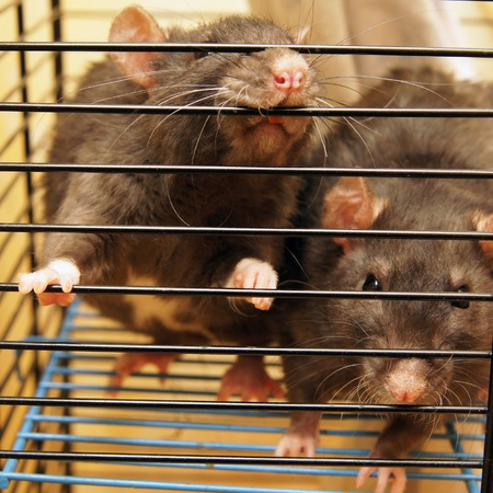 Gray rats in a cage close up photo